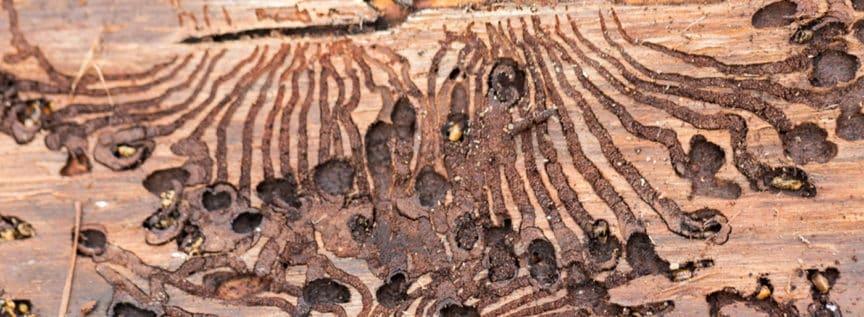 Fressgänge vom Borkenkäfer in einem Baum