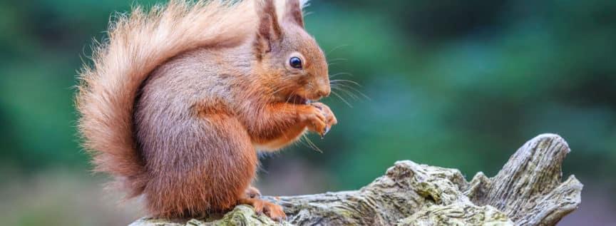 Ein Eichhörnchen im Wald das an einer Nuss knabbert
