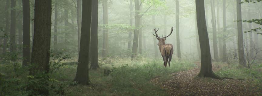 Wild im Wald im Nebel