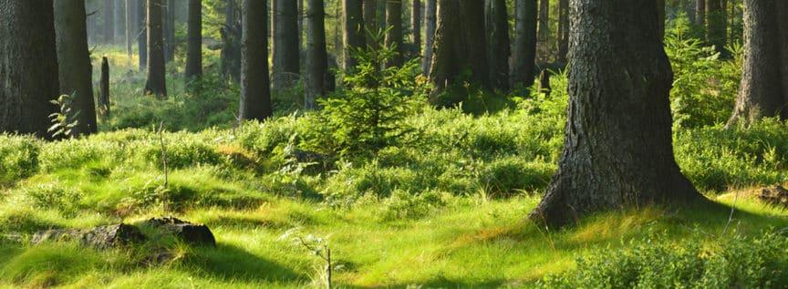 Waldboden in der Sonne mit Fichten im Hintergrund