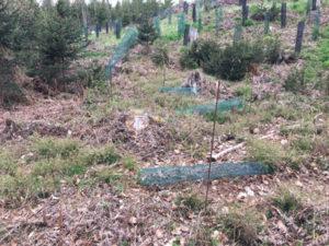 Wild zerstört Einzelverbissschutz im Wald 1